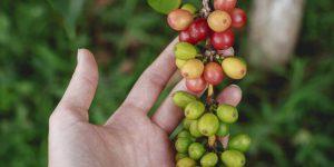 holding fresh coffee fruit
