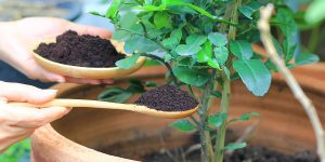 Are Coffee Grounds Good For Plants